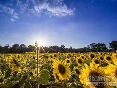 人造向日葵高效收集太阳能
